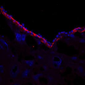 R&D Systems/Mouse Laminin-1 Antibody/MAB25491-SP/25 ug