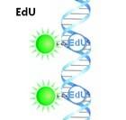 Cell-Light™ EdU流式细胞仪检测试剂盒(细胞增殖,优于BrdU)