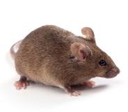 B6C3F1小鼠 SPF级