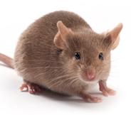 CD2F1小鼠 SPF级