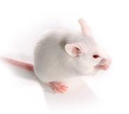 CB-17 SCID小鼠 SPF级