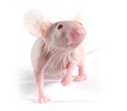 CD-1 裸小鼠 SPF级
