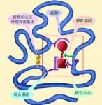 酶活性检测(激酶、酯酶、磷酸酶、脱氢酶、合成酶)