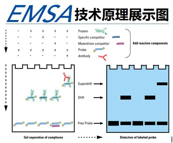 凝胶电泳迁移率(EMSA)实验服务