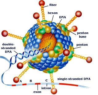 过表达腺相关病毒AAV包装