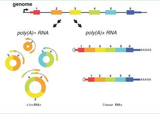 circRNA高通量测序实验