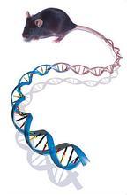 染色体工程小鼠