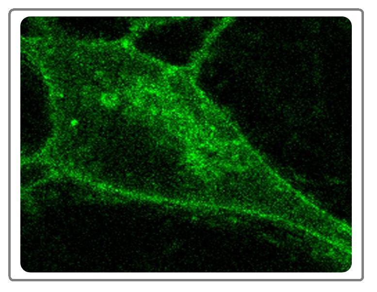 筛药细胞株定制