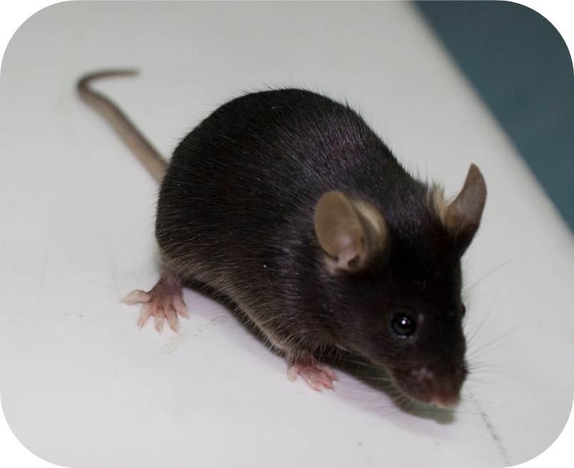 ES细胞策略构建条件性基因敲除小鼠