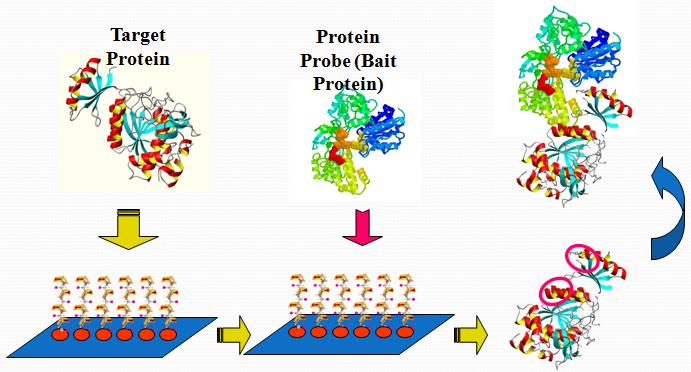 蛋白互作位点筛查试剂盒(各种靶标蛋白)